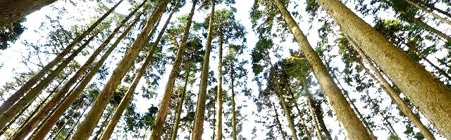 針葉樹森林浴